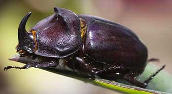 Tahap Pertumbuhan Daur Hidup Pada Kumbang Tanduk / Kumbang Badak