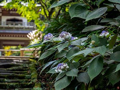 Tama-ajisai (Hydrangea involucrata) flowers: Jochi-ji