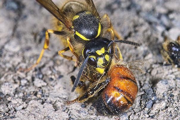 Πως αντιμετωπίζουμε τις σφήκες στα μελίσσια: Σήμερα αποκαλύπτουμε μυστικά!