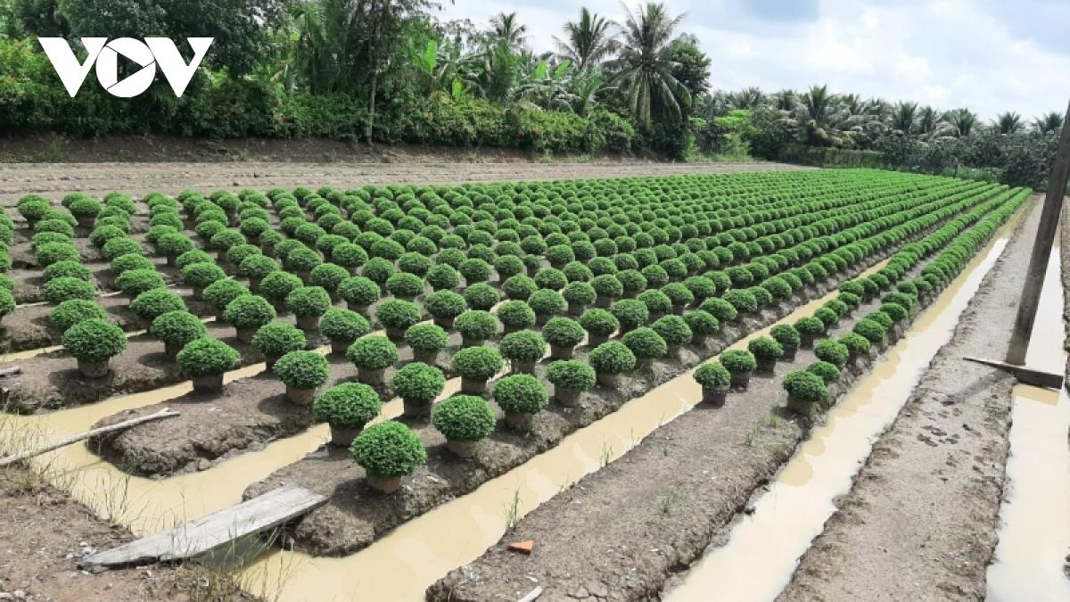 """Hiện nay, nông dân thành phố Mỹ Tho (Tiền Giang) xuống giống gieo trồng vụ hoa Tết rất """"nhỏ giọt""""."""