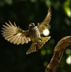 Video burung trucukan ngropel dan nggaruda