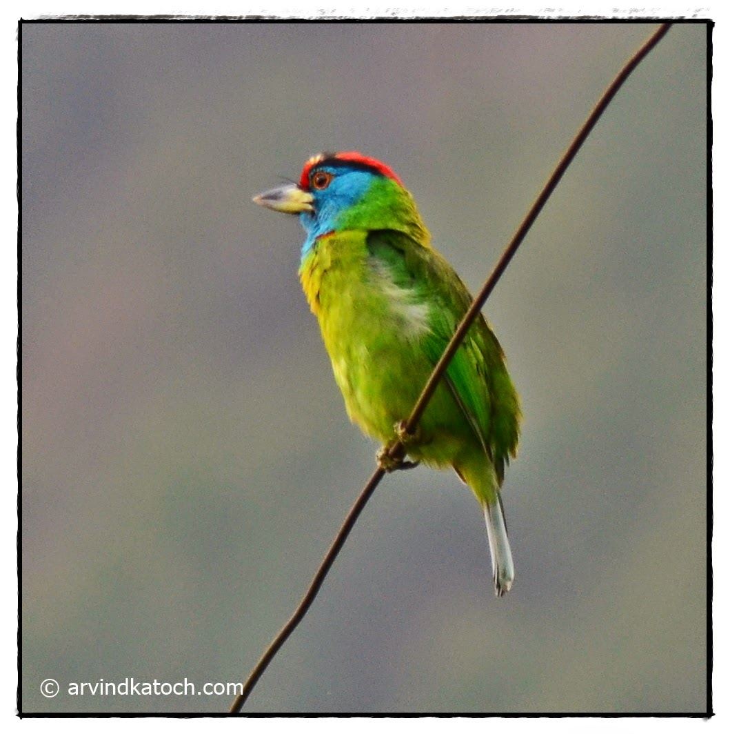Blue Throated Barbet,