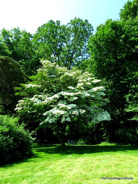 Dogwood at Winterthur