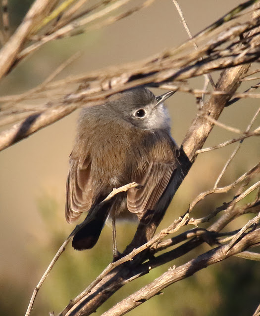 Female California Gnatcatchers are brownish, unlike other gnatcatcher species.