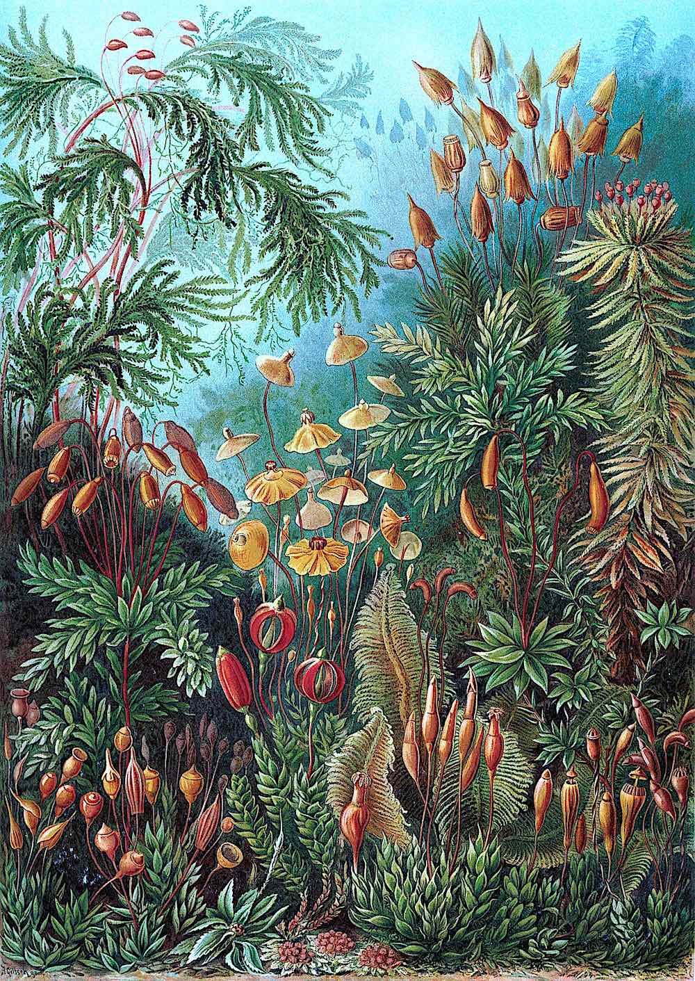 Ernst Haeckel 1904, underwater plants