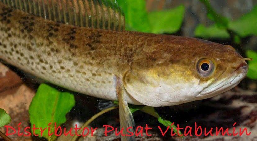 Gambar Manfaat Ikan Gabus Mempercepat Penyembuhan Setelah Operasi