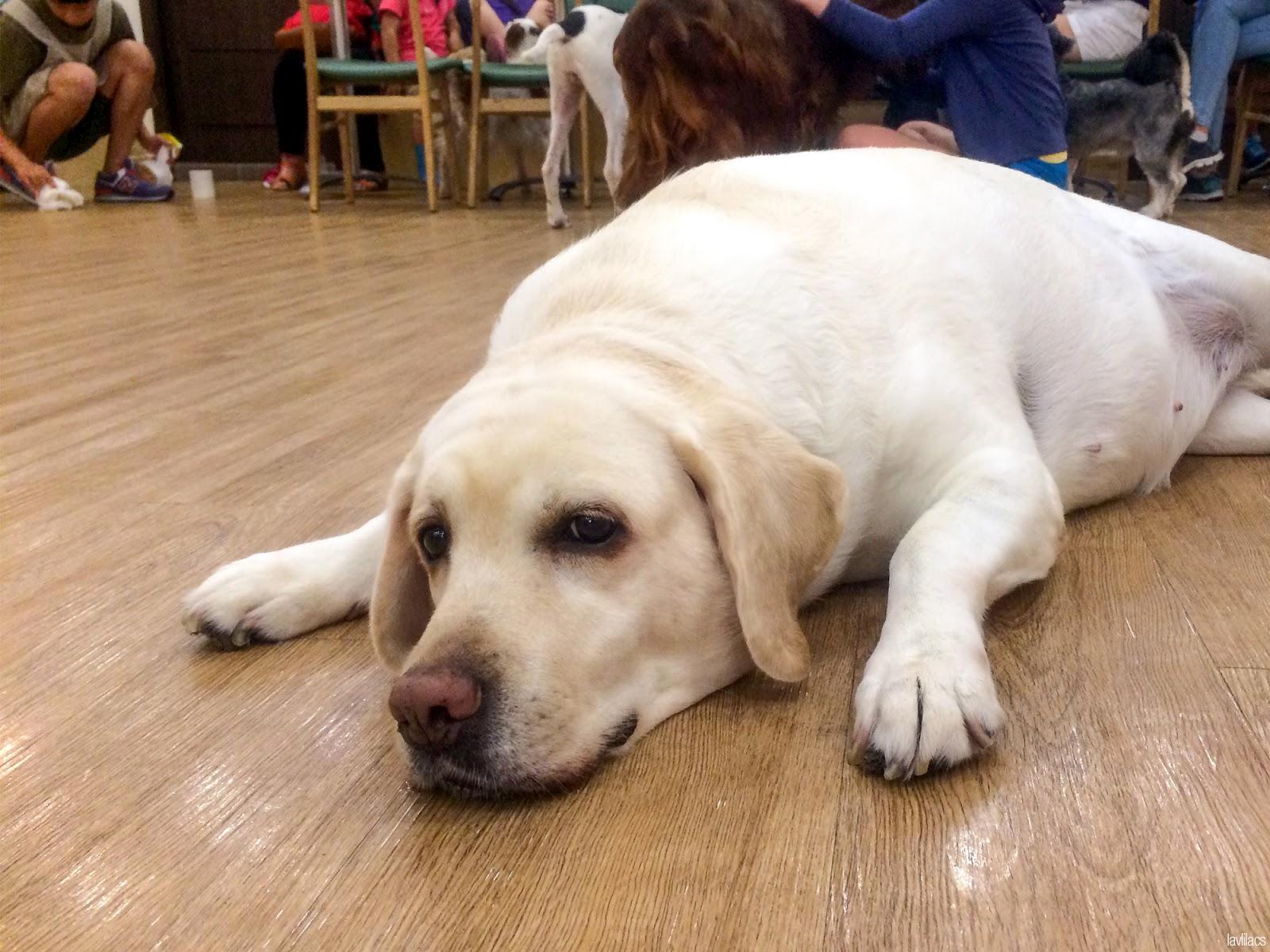 Seoul, Korea - Summer Study Abroad 2014 - Bauhaus Dog Cafe dog laying down