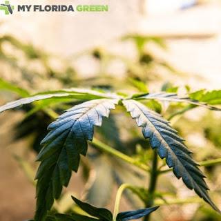 MedicalMarijuana Card Sarasota