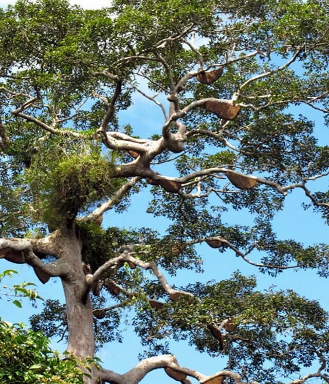 Madu Hutan Kalimantan Barat