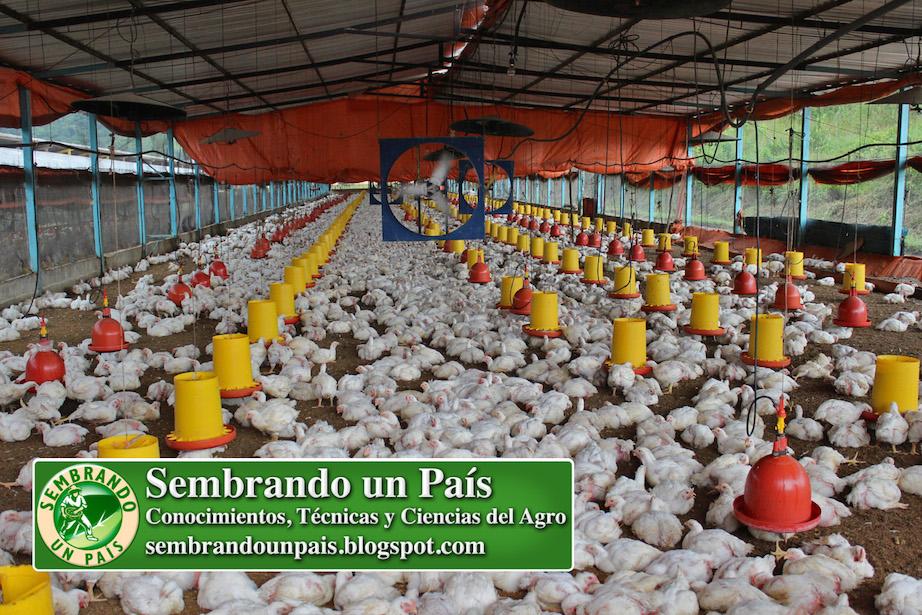 galpón con capacidad para más de 10.000 pollos