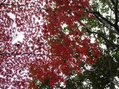 くろんど池 秋の紅葉ウォーキング モミジの紅葉