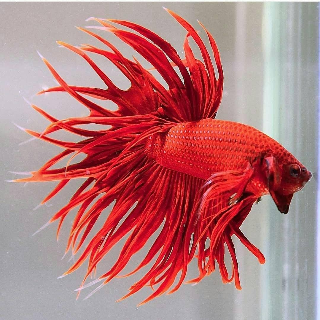 ikan cupang pilihan