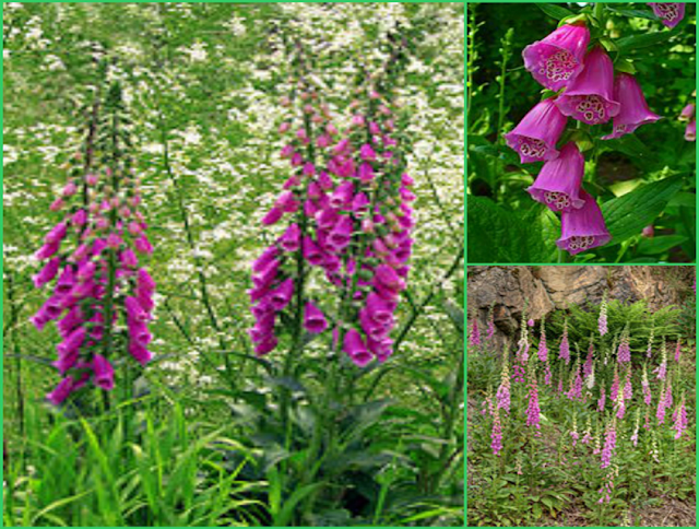 Digoxin (C41H64O14) is 300 times more potent than the powder prepared from Digitalis purpurea