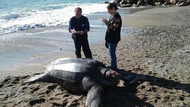 http://www.lavozdigital.es/cadiz/provincia/lvdi-misterio-tortugas-gaditanas-201601091048_noticia.html