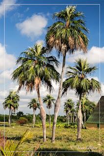 Schwangere Palmen