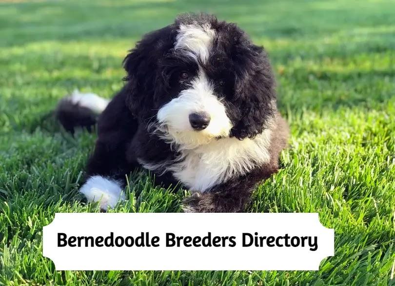 Bernedoodle-breeders-directory
