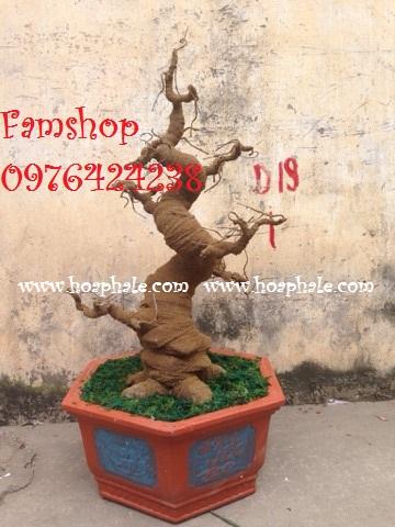 Goc bonsai mai dao tai Tran Dang Ninh