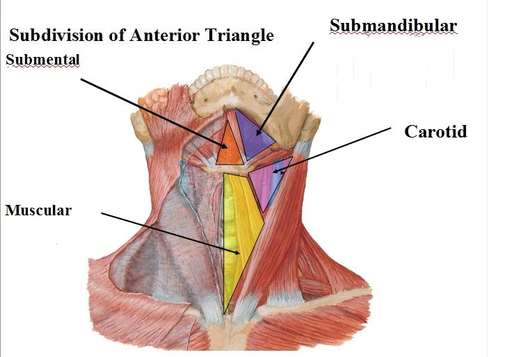 Anterior Triangle of Neck Anatomy