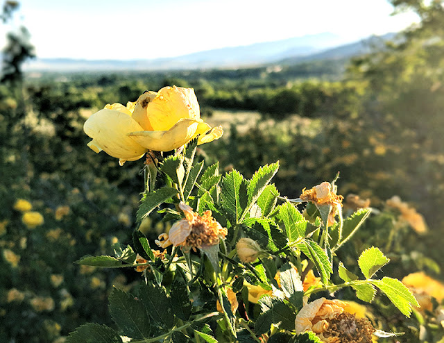 Yellow Roses: Alpine Utah