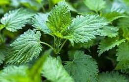 القريص أعشاب طبيعيه لعلاج زيادة الأملاح في الجسم