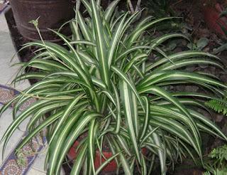 Φυτά εσωτερικού χώρου για μείωση της ατμοσφαιρικής ρύπανσης-Hierbabuena