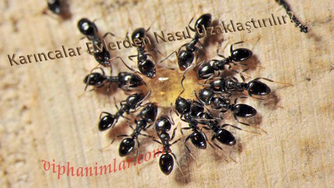 Karıncaları Öldürmeden Uzaklaştırmak İçin Doğal Spreyler