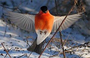 Конечно, размером снегири не могут тягаться с попугаями - наша птичка чуть больше...