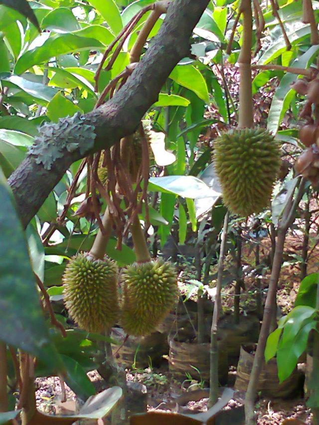 gambar ciri ciri dan manfaat tanaman durian