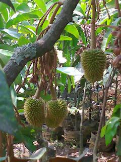 contoh bibit kategori pohon buah durian