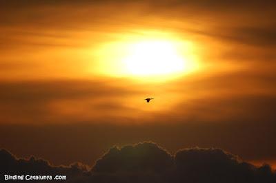 Corb marí gros volant a la sortida del sol