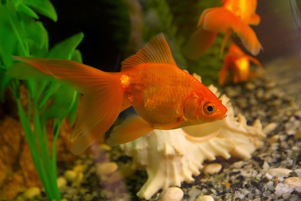 Freshwater fish tanks freshwater fish fish tanks for Fish tank for goldfish