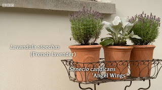 French Lavender and Senecio Candicans 'Angel Wings'