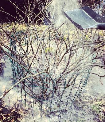 Tuhka leviää hienosti vanhan marjapensaan juurelle
