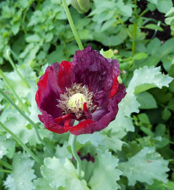 Crimson poppy flower against a background of green leaves