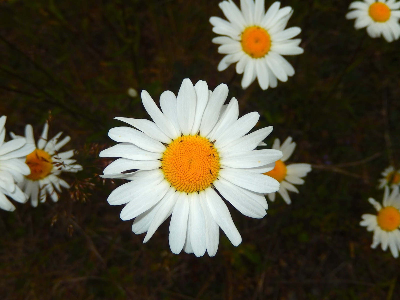 Powell river books blog coastal bc plants oxeye daisy the young leaves are edible and very sweet and the flowers can be used to make a wine similar to dandelion wine these daisies may be weeds izmirmasajfo