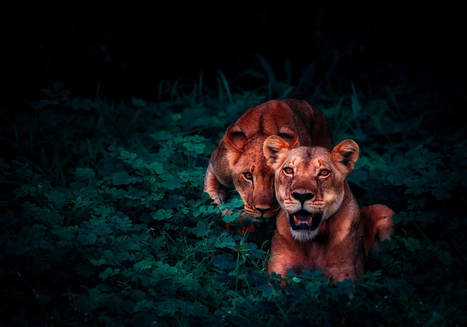 animal-animal-photography-carnivore-cat,lion images