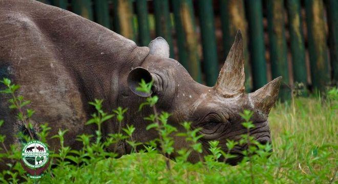 Morre o rinoceronte fêmea considerado o mais velho do mundo