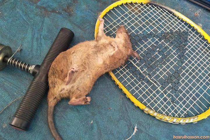 Tikus Sebesar Anak Kucing