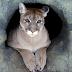 El puma del este de Norteamérica ha sido declarado oficialmente extinto