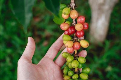 mengatasi hama pada tanaman kopi