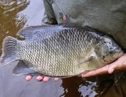Cara budidaya Ikan gurame, pemula tapi hasil melimpah