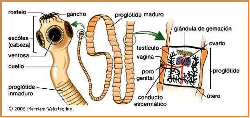 Cacing ascaris lumbricoides