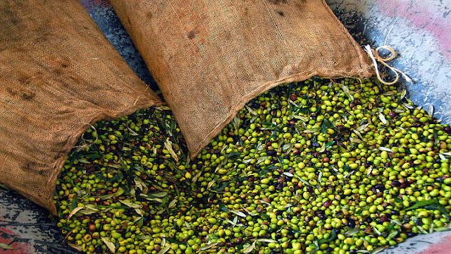 Επιστολή του Δημάρχου Ερμιονίδας στον Υπουργό Αγροτικής Ανάπτυξης για την κατακόρυφη πτώση της τιμής του ελαιολάδου