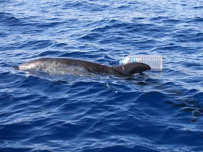 Delfin vor Teneriffa gerettet