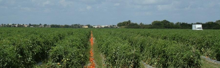 Campos de tomates y la ciudad de fondo