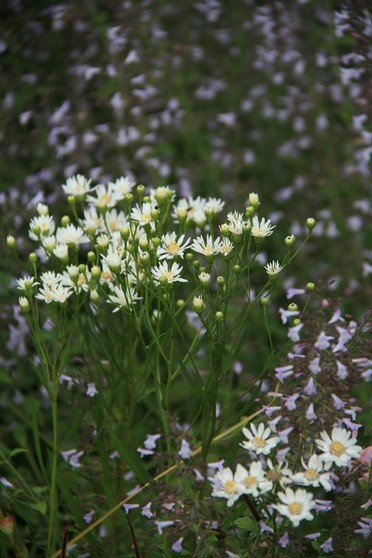 Aster (Solidago) ptarmicoides alias Oligoneuron album