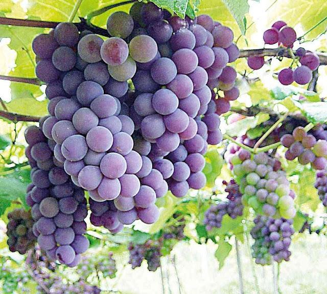 Projeto experimental colhe safra de uva no Sertão de Alagoas