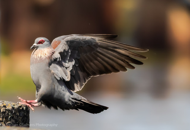 Landing Sequence of a Speckled Pigeon, Woodbridge Island Image Copyright Vernon Chalmers Photography