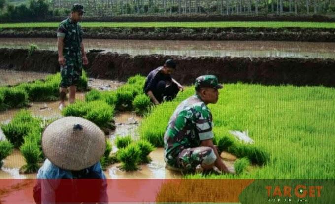 Menjaga Ketahanan Pangan Nasional Babinsa Koramil Tayu Lakukan Pendampingan Khusus di Sektor Pertanian