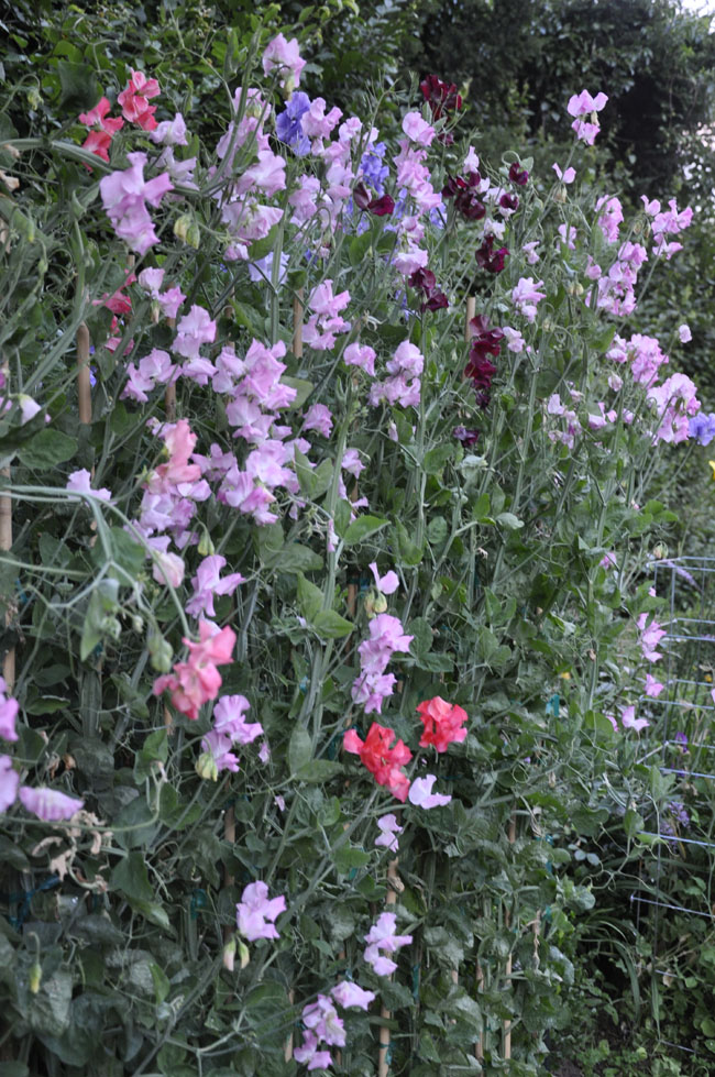 Growing With Plants How To Grow Sweet Peas For Cut Flowers